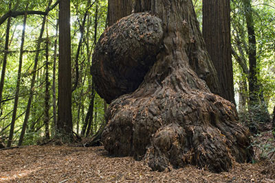 Một khối burl (ung thư) khổng lồ ở cây óc chó.