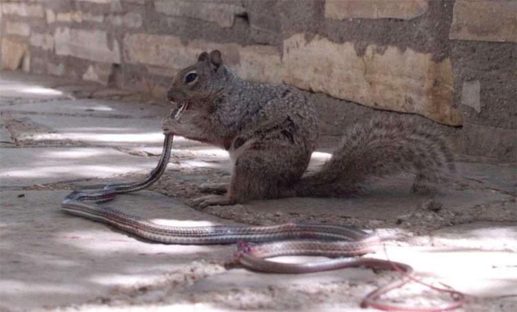 Con sóc đang cầm đầu rắn mà gặm như ăn kem.