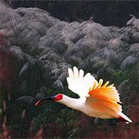 """Hàn Quốc """"hồi sinh"""" loài chim tuyệt chủng 40 năm"""