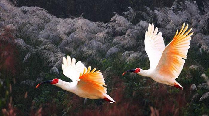 Cò quăm mào hoang dã không được nhìn thấy ở Hàn Quốc từ năm 1979.