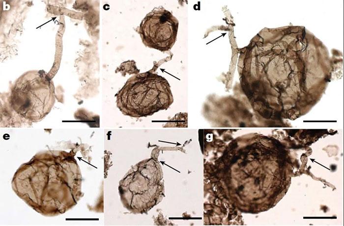 Hóa thạch nấm một tỷ năm tuổi nhìn dưới kính hiển vi.