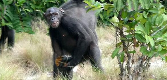 Những con tinh tinh đực giữ chặt rùa trong tay