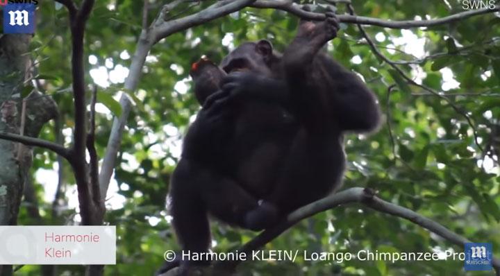 Tinh tinh bắt rùa, đập vỡ mai vào một bề mặt cứng, sau đó trèo lên cây để cùng nhau ăn thịt.