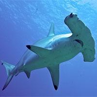 """Nghiên cứu mới cho thấy loài cá mập búa có thể là giống thích """"ăn chay"""" hơn ăn thịt"""