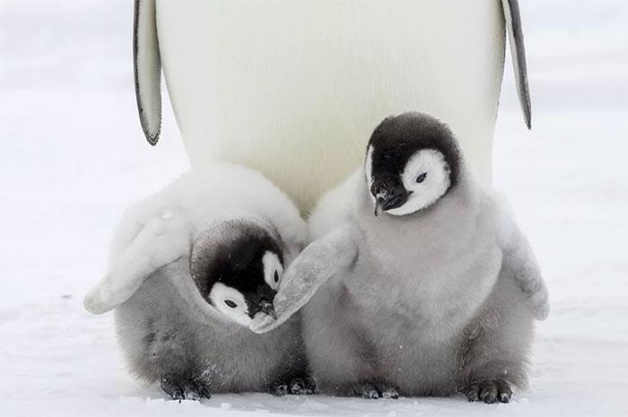 Phần đông chim cánh cụt con bị mất mạng trong những trận bão liên tiếp thời gian gần đây