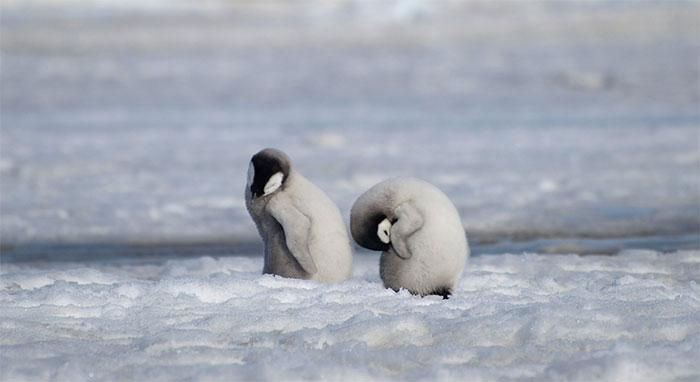 Chim cánh cụt cần phần băng ổn định từ tháng 4 đến tháng 12 hằng năm để sinh nở