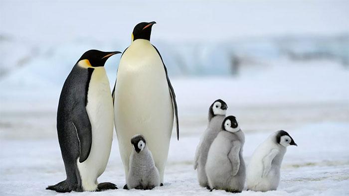 Quần thể chim cánh cụt hoàng đế ở vùng biển Weddell của Nam Cực bị ảnh hưởng