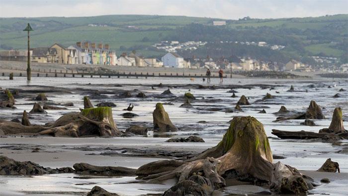Dấu tích của khu rừng cổ đại ở bãi biển Wales.