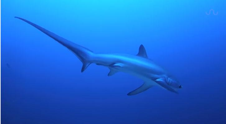 Cá mập cáo sở hữu chiếc đuôi rất dài.