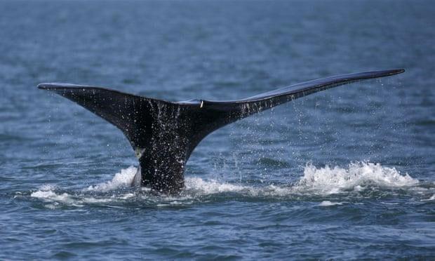 Số lượng cá voi trơn Bắc Đại Tây Dương đang sụt giảm vì đại dương nóng lên