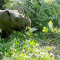 Tê giác đực Sumatra cuối cùng ở Malaysia qua đời