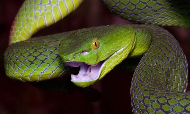 Theo thống kê hiện nay, nọc độc của rắn giết chết 138.000 người mỗi năm