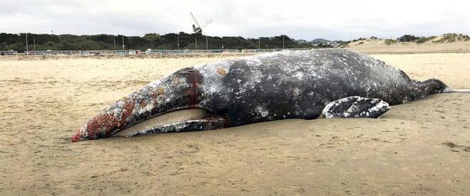 Có 4 con cá voi được xác định là do suy dinh dưỡng.