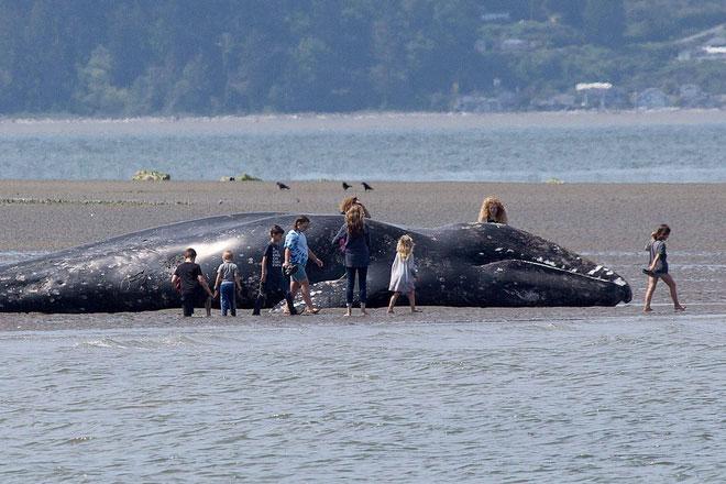 Người dân hiếu kỳ đứng xem xác cá voi xám dạt vào bờ.