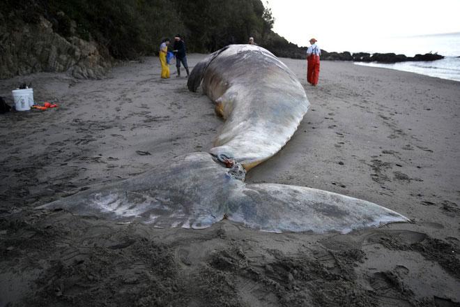 Các nhà khoa học chuẩn bị thực hiện một ca phẫu thuật trên xác một con cá voi xám dạt vào bờ.