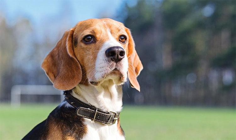 Chó có thể ngửi thấy bệnh ung thư chính xác cao tới mức khiến người ta kinh ngạc.