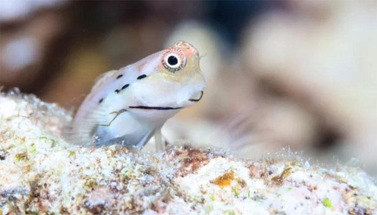 Cá cryptobenthic cung cấp khoảng 60% lượng thức ăn nguồn gốc từ cá cho san hô