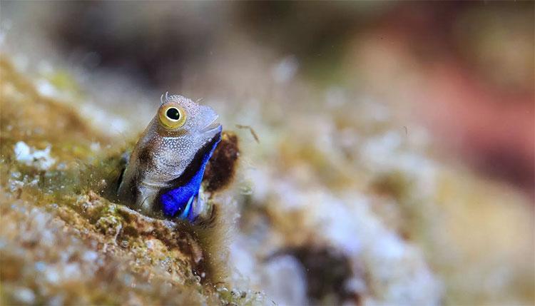 Màu xanh trên nhiều con cá cryptobenthic đã từng làm Darwin nhầm lẫn chúng là sinh vật phù du