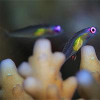 """Loài cá nhỏ nhất thế giới """"cứu"""" những dải san hô"""