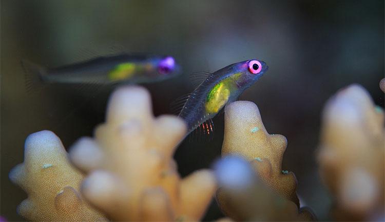 Cá bống mắt đỏ - một trong những loài cá cryptobenthic