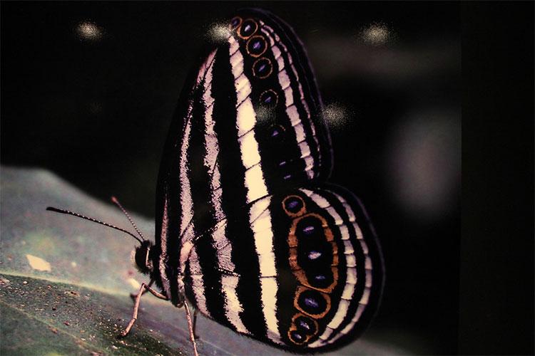 Mỗi loài bườm có màu sắc và hoa văn trên cánh riêng biệt
