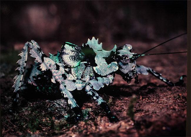 Con châu chấu ở Khu bảo tồn thiên nhiên Pà Cò - Hang Kia