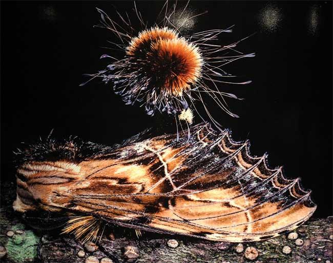 Con Ngài (bướm đêm) cái ở vườn Quốc gia Liên Sơn tỉnh Lào Cai