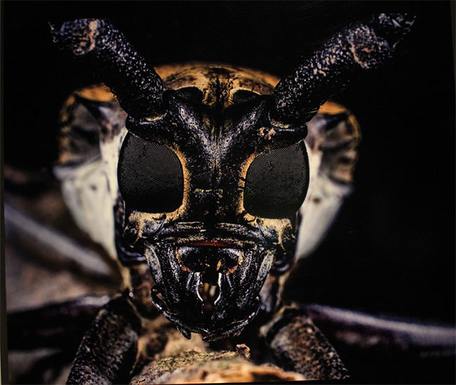 Con bọ cánh cứng ở Vườn quốc gia Ba Vì (Hà Nội) này có đôi mắt kép lớn