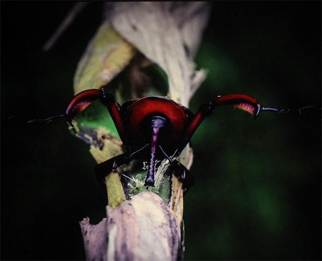 Loài Đuông dừa đỏ ở Rừng quốc gia Tam Đảo, tỉnh Vĩnh Phúc