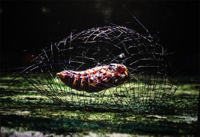 Sâu bướm tạo ra một loại lồng tơ nhỏ để bảo vệ nhộng