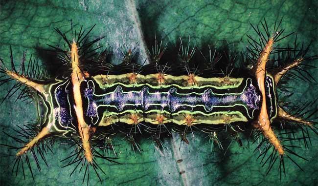 Sâu bướm với gai độc trên thân mình ở Khu bảo tồn thiên nhiên Kon Chư Răng, tỉnh Gia Lai