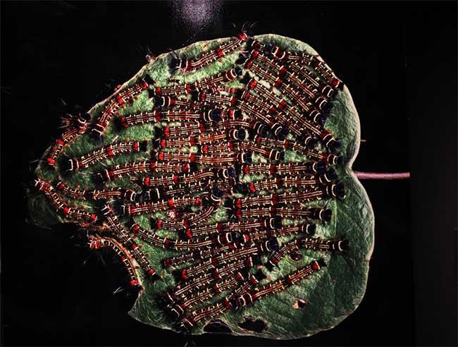 Sâu ngải (bướm đêm) ở vườn quốc gia Pù Mát tỉnh Nghệ An