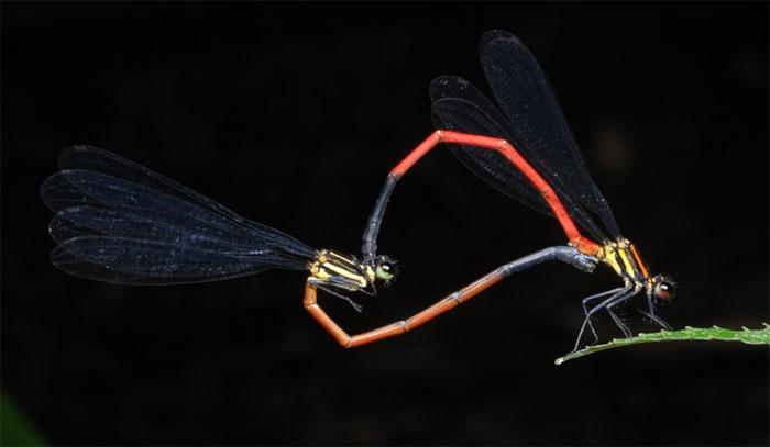 Cặp chuồn chuồn này, trong quá trình giao phối tạo thành hình trái tim.