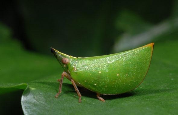 Màu sắc và hình dạng của loài rầy nhỏ ở Vườn quốc gia Cúc Phương