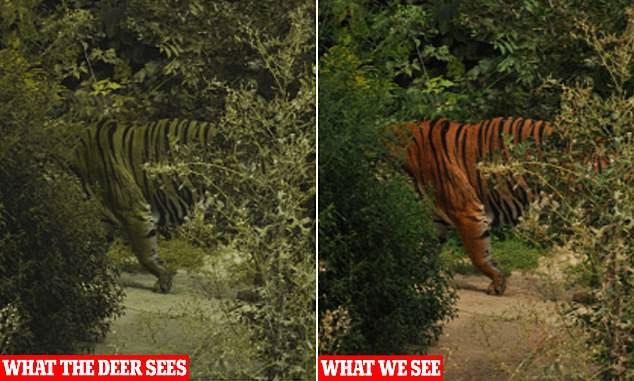 Màu sắc của hổ dưới mắt người (phải) và mắt hươu nai (trái).