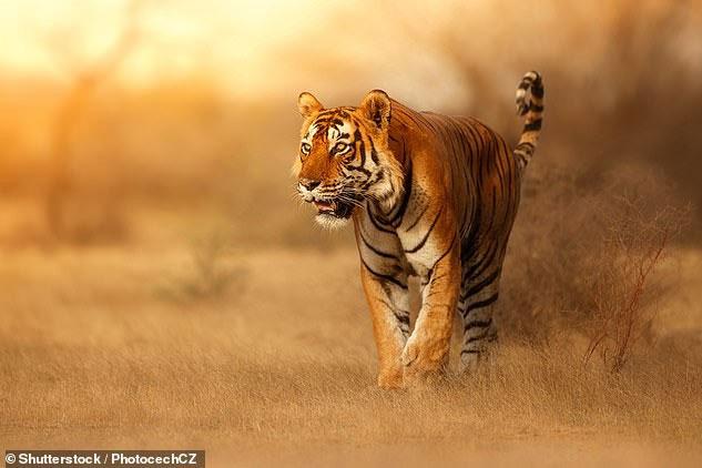 Bộ lông của hổ quá rực rỡ nếu xét đến môi trường chúng vốn tồn tại