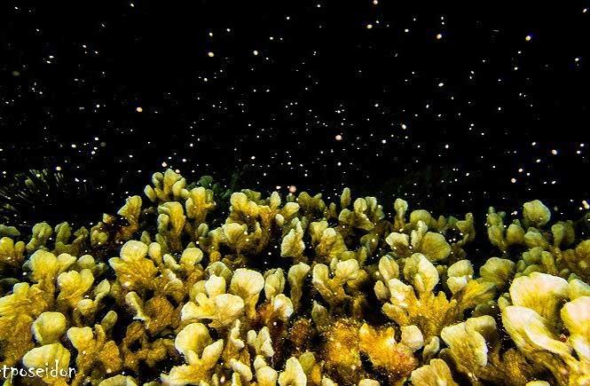 San hô có thể sinh sản hữu tính và vô tính