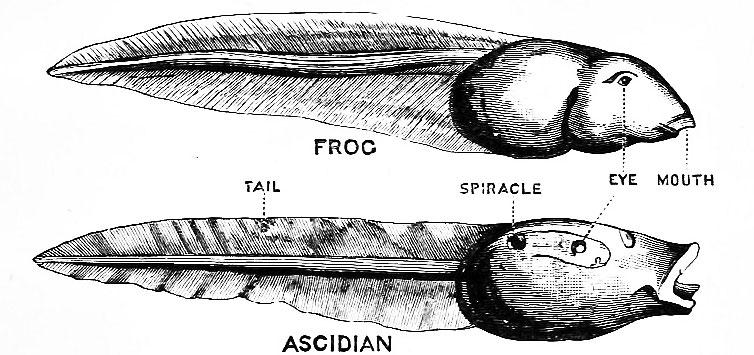 So sánh 1 con nòng nọc (trên) với 1 con hải tiêu con: đều có mắt, miệng, đuôi... Hải tiêu còn có mang để thở.