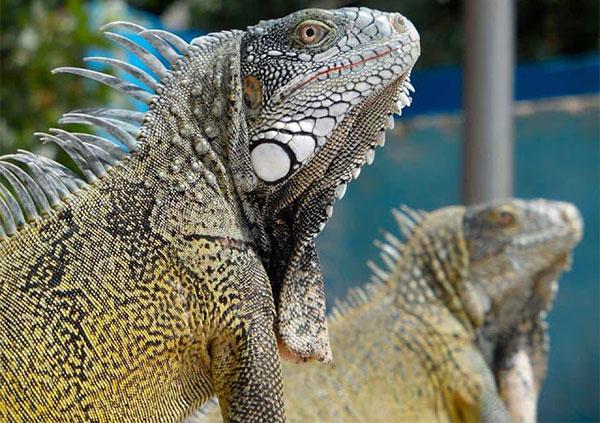 Iguana là một loại kỳ nhông tìm thấy rất nhiều ở Curaçao.