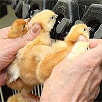 Cắt mỏ gà - Biện pháp cần được áp dụng trong chăn nuôi công nghiệp