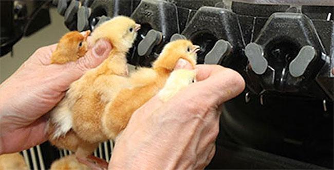 Cắt mỏ gà bằng máy