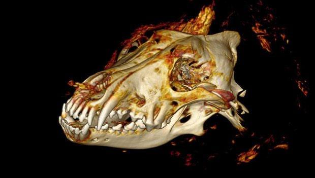 Giới nghiên cứu đang phân tích kỹ phần đầu của con sói thời tiền sử.