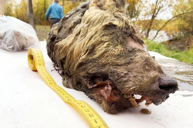 Đầu quái thú thời tiền sử được phát hiện ở Siberia.