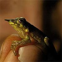Phát hiện 3 loài ếch mới ở Thái Bình Dương