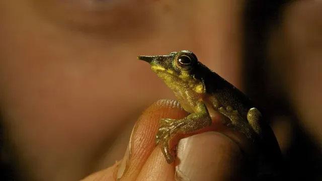 Một trong ba loài ếch mới được phát hiện.