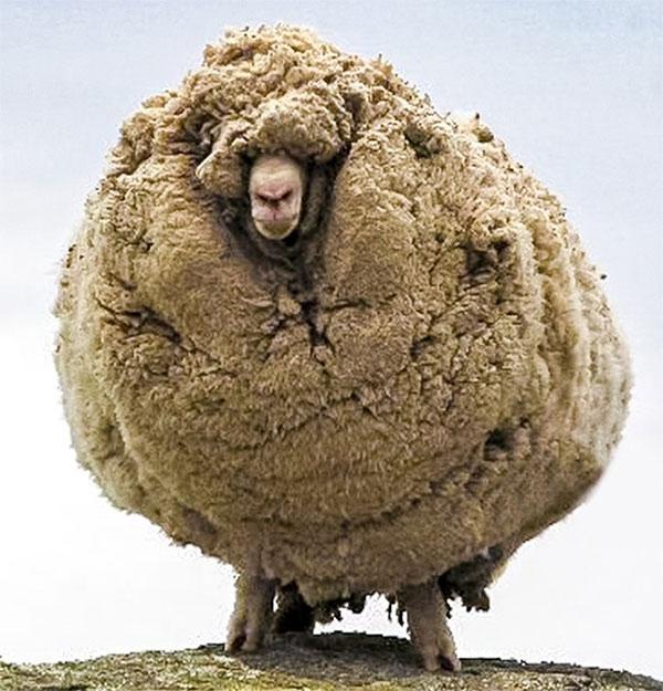 Khi một chú cừu không cạo lông trong vòng 6 năm.