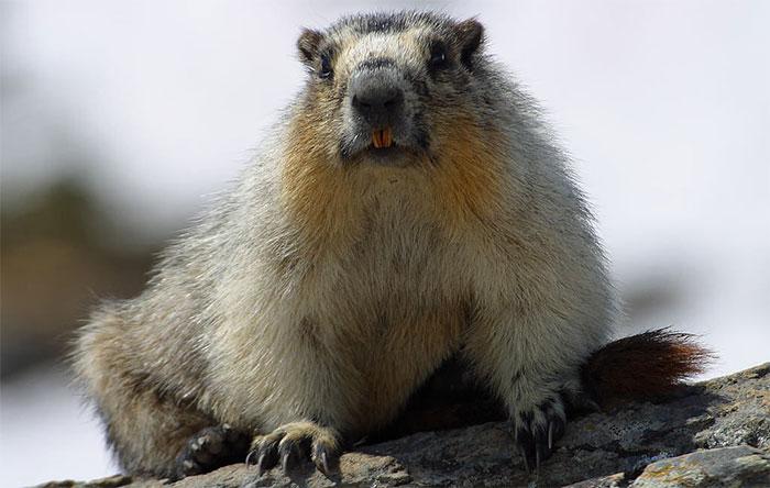 Một con marmot.