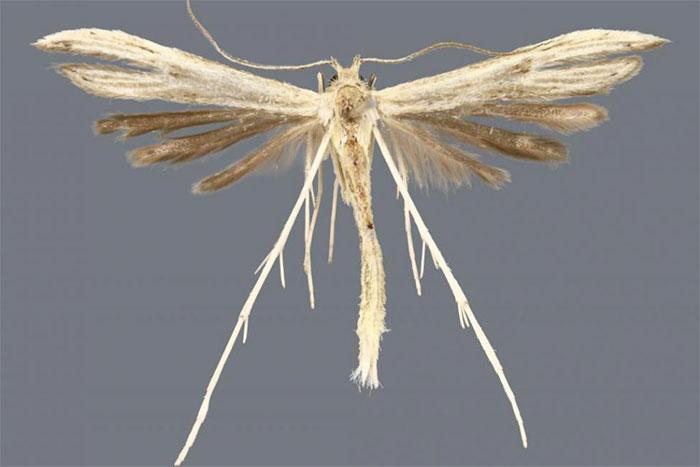Hellinsia lucayana, một trong bốn loài bướm đêm mới được phát hiện.
