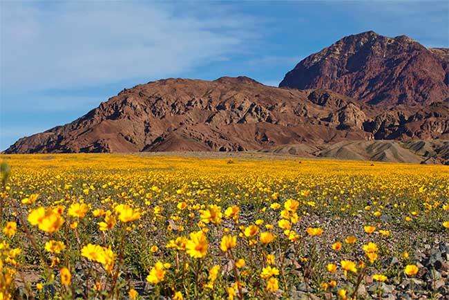 Hoa dã quỳ mang lại sự sống cho sa mạc