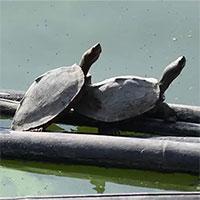 Hồi sinh rùa tuyệt chủng ngoài tự nhiên